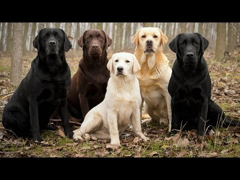 Labrador Retriever Facts