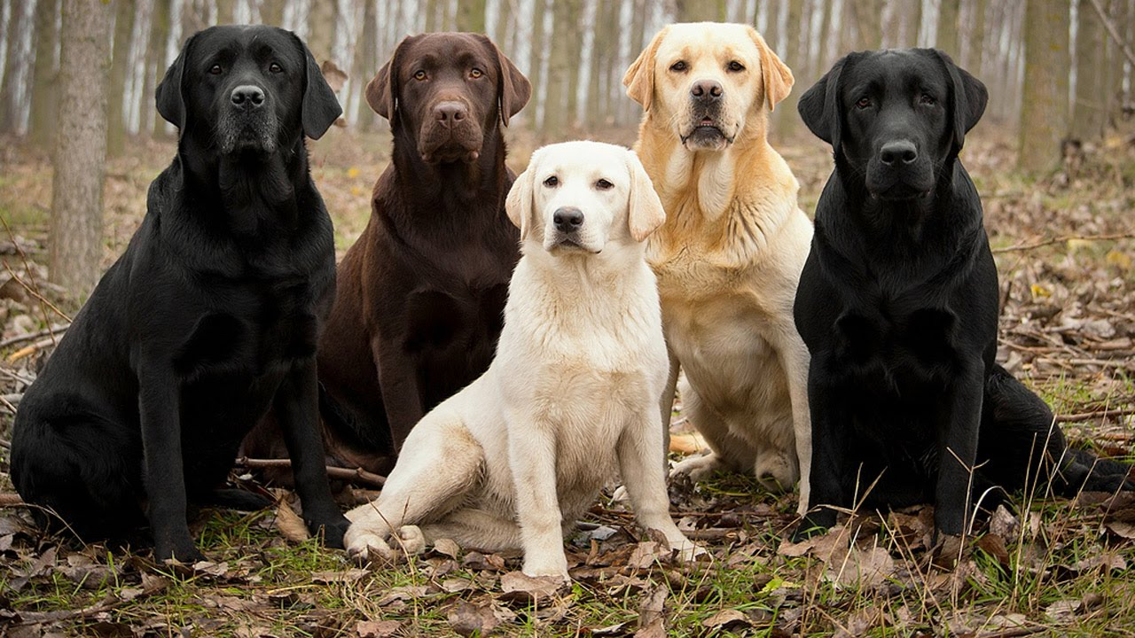 Labrador Retriever Facts Youtube