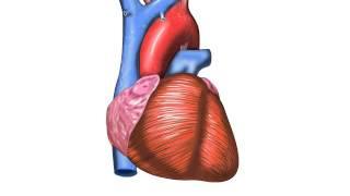 Que sangre rica los corazón al pulmones lo oxígeno en transporta desde