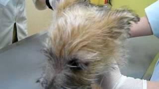 ノーリッチテリア(norwichterrier)のあたまるくんが動物病院で体温を...