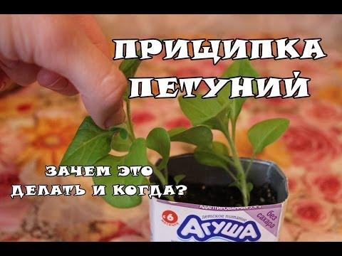 видео: Как правильно прищипывать петунию