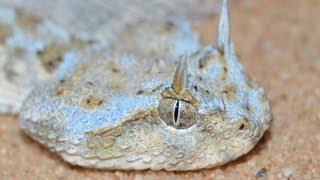 עכן חרטומים מתחפר בחול - Saharan horned viper (Cerastes cerastes) digging itself in the sand
