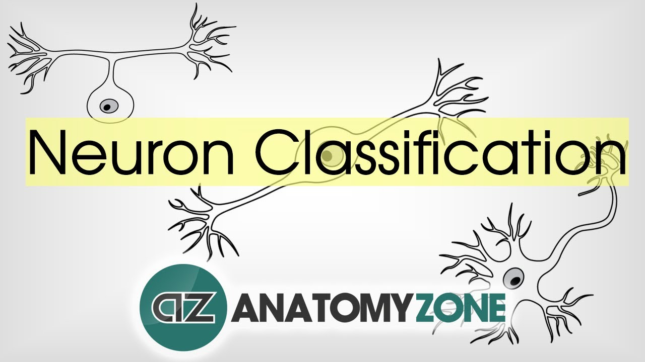 Types of Neurons by Structure - Neuroanatomy Basics - Anatomy ...