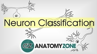 Types of Neurons by Structure - Neuroanatomy Basics - Anatomy Tutorial