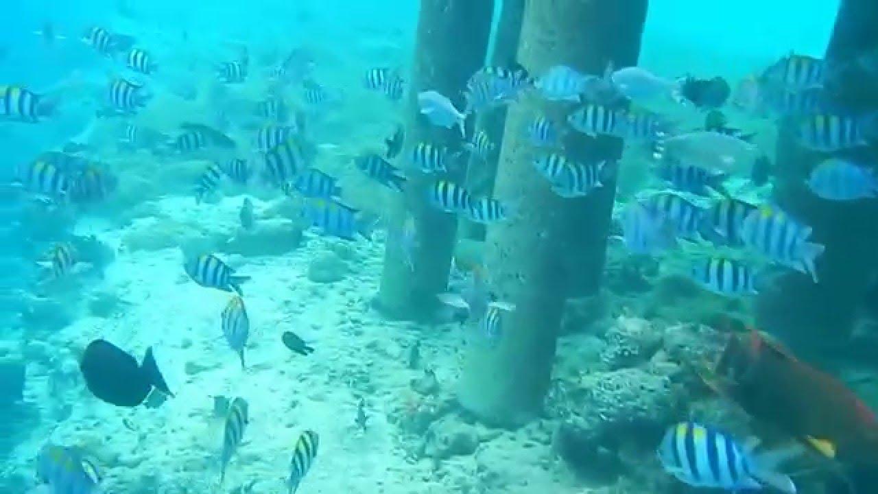 1,5 -метровая Барракуда здесь! Рыбы на Мальдивах.