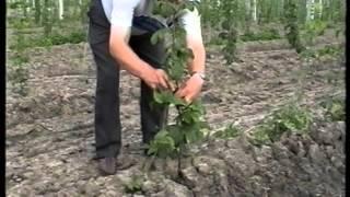 Технологія вирощування хмелю(, 2016-03-31T10:49:56.000Z)