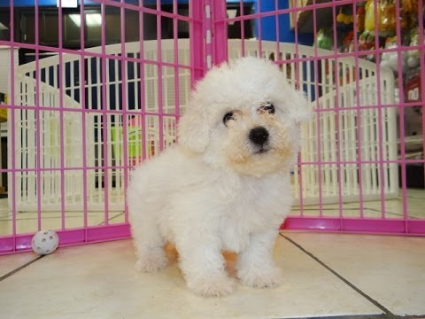 Bichon Frise, Puppies, Dogs, For Sale, In Jackson ...