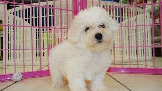 Bichon Frise, Puppies, For, Sale, In, Jackson, Mississippi, Ms, Clinton, Pearl, Horn Lake