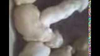 щенки американский коккер спаниель