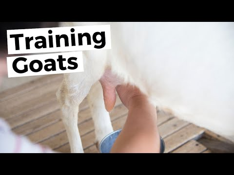 Training New Goats to Milk
