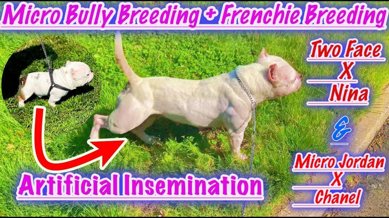 Micro Bully Breeding ➕ Frenchie Breeding 💯
