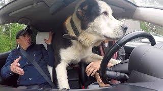 Безумная ТАКСИСТКА # ОГРОМНАЯ собака в МАШИНЕ!!