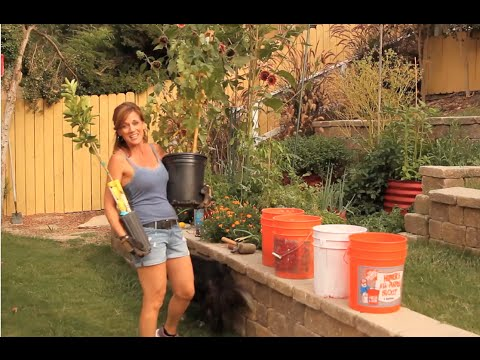 Planting Grapevine and Lemon Tree in 5 Gallon Buckets - Quick and Easy
