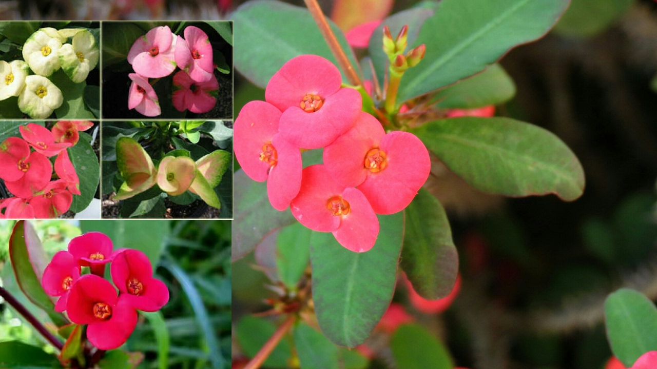 How To Grow Euphorbia Milli Cuttings Care Of Crown Thorns PlantEuphorbia