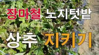 장마철 노지 텃밭 상추지키기, 주말농장 상추 가꾸기, …