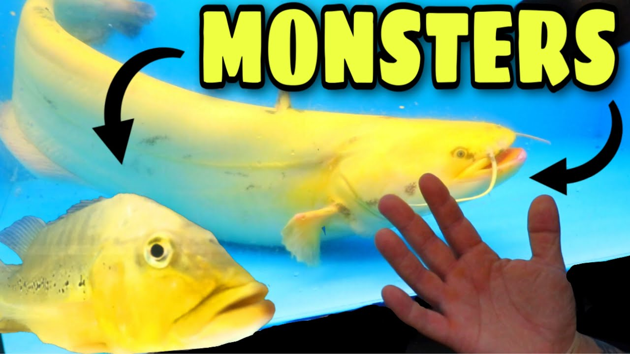 MONSTER FISH shipment from Asia - GIANT GOLDEN WELS catfish, SUPER WHITE OSCARS, TIGER PARROTS...