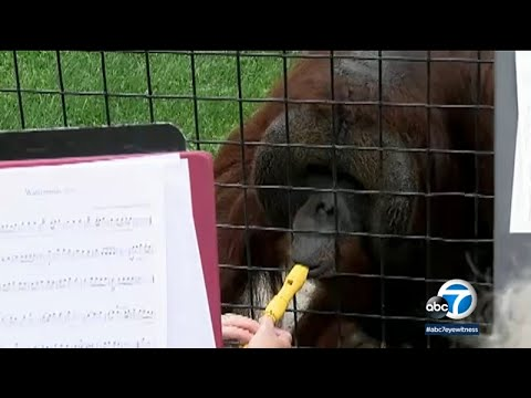 Pet Central - Watch as this orangutan is shown playing the recorder!