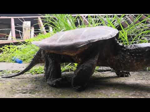 Tortuga Lagarto (Chelydra Acutirostris) Costa Rica 🇨🇷  🐢🐊