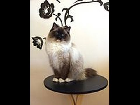 7 gallery about cat ragdoll - cat information