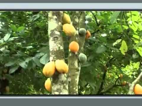 CNFA Ghana: Commercial Strengthening of Smallholder Cocoa Production