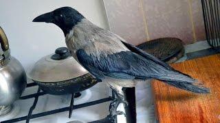 Умные ручные вороны. Ворон Глаша и ворона Карпуша