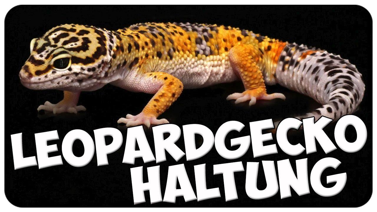 Leopardgecko Haltung! Leopardgeckos richtig halten! Tipps ...  Leopardgecko Ha...