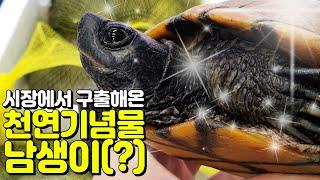 용봉탕이 될뻔한 거북이를 시장에서 구출해왔어요...