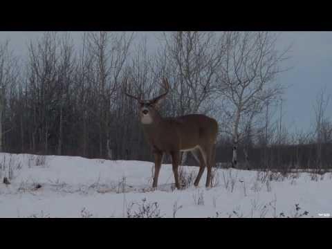 Hunting Whitetail In Manitoba