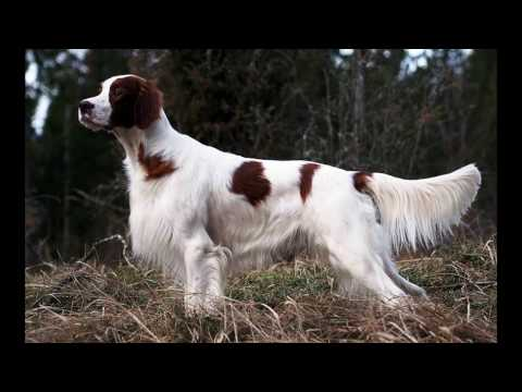 The Most Beautiful Irish Setter red/white 2016
