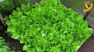 Выращивание редиса, шпината, салата. Посадка огурца