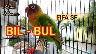 Download Lagu BIL BUL Lovebird Balibu edan FIFA SF mp3