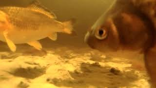Мой пруд подводная сьемка кометы и карпы Кои