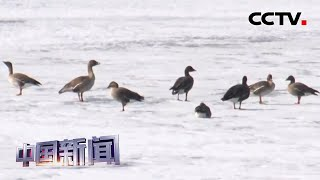 [中国新闻] 黑龙江:五万只北归大雁江畔歇脚 | CCTV中文国际