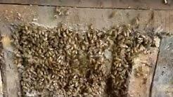 Honeybee Removal - Rome, GA   7-16-16