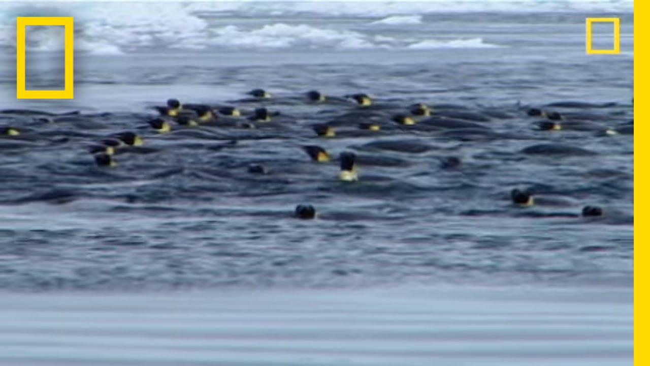 penguins vs leopard seal national geographic youtube