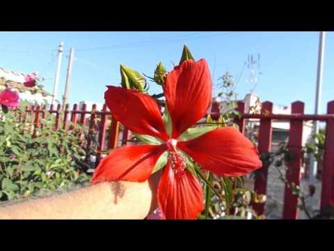 Texas Star Hibiscus Hibiscus Coccineus Httpenglishgardenerme