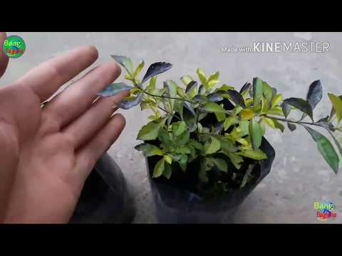 How To Grow And Care Golden Duranta Plant In Hindi