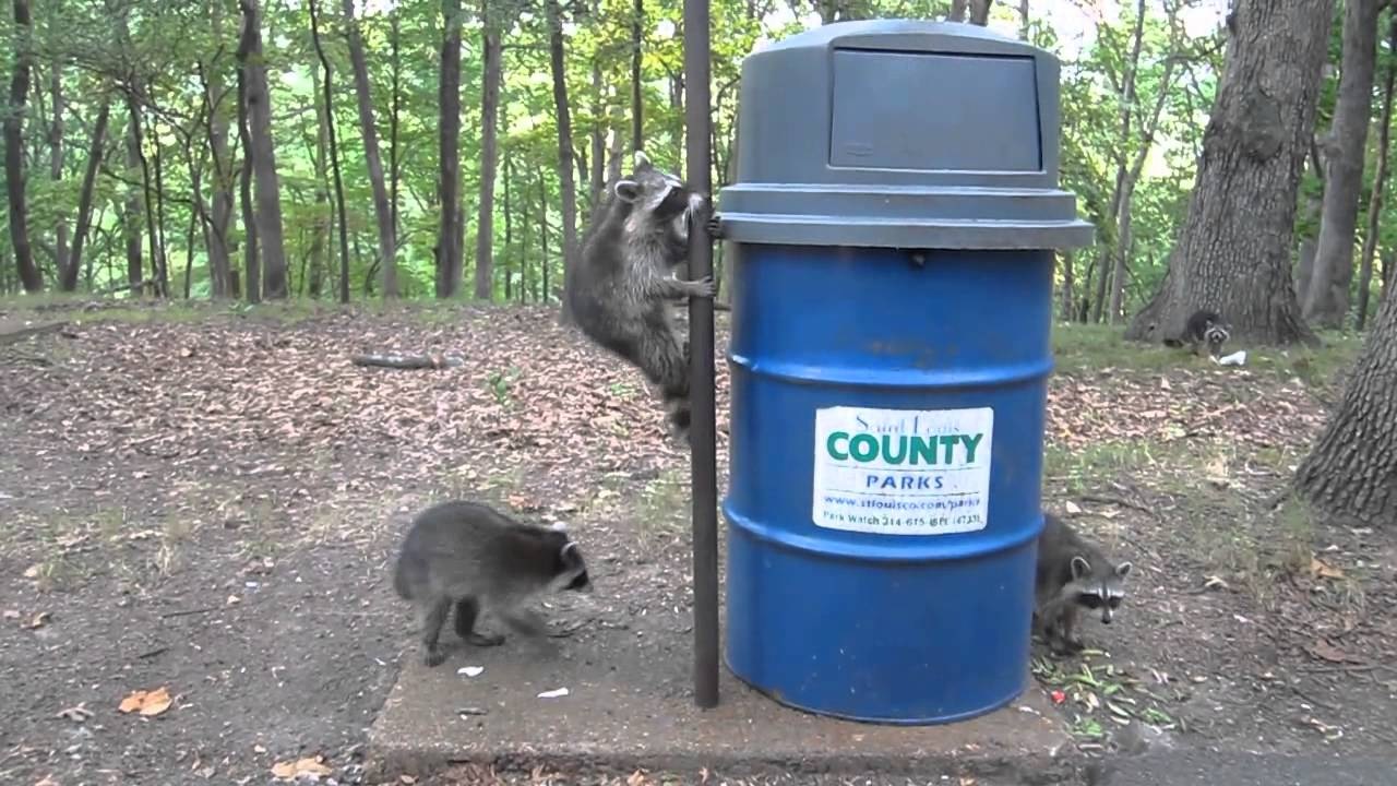 Raccoon Traps Itself In Trash Can Youtube