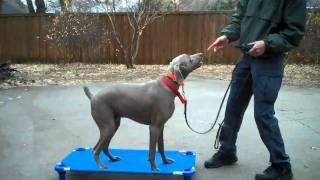 Rebel -weimaraner | Redeeming Dogs | Tod Mcvicker - Allen Dog Training