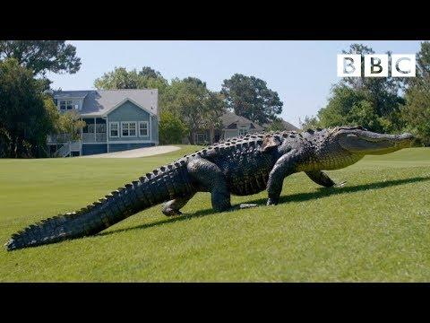 The Alligators taking over America's golf courses - BBC