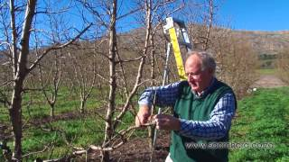 How to prune peach & nectarine trees