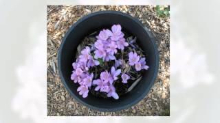 Безвременник (Colchicum autumnale)