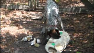 Gsp Puppy Plays With Squirrel Toy
