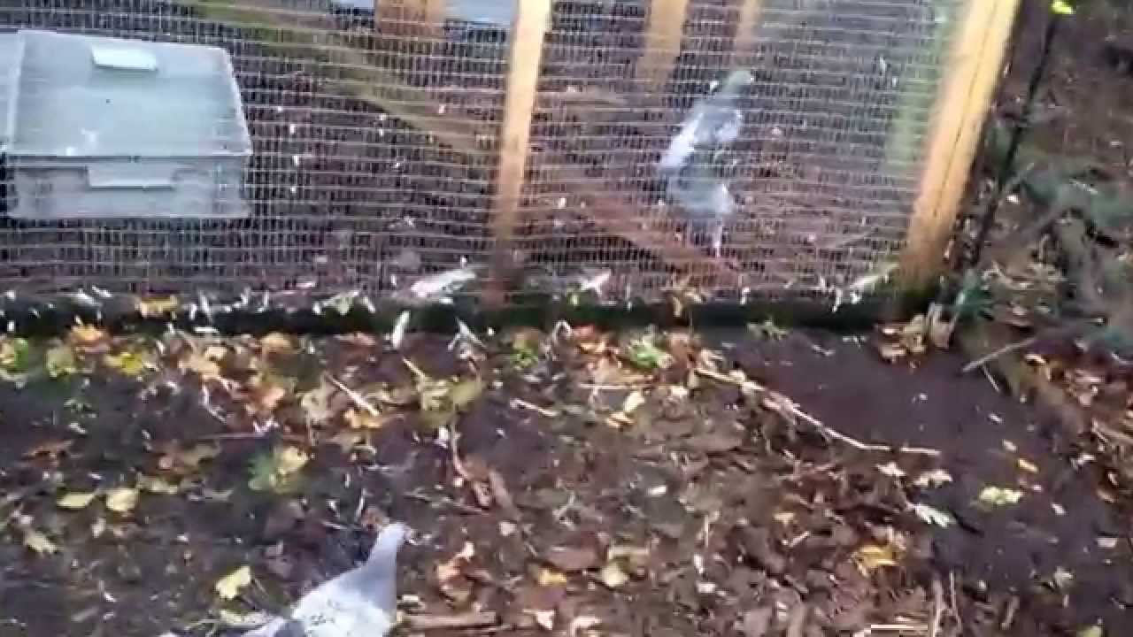3 young racing pigeons on the first time out youtube