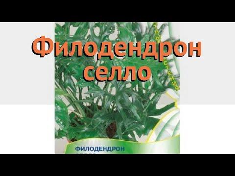 Филодендрон селло Филодендрон селло 🌿 обзор: как сажать, семена филодендрона Филодендрон селло