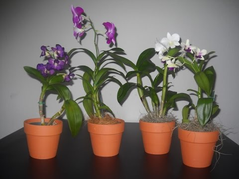 como cultivar orqu dea doovi On como cuidar orquideas en casa