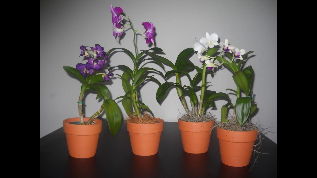 C mo cuidar a las orqu deas en casa youtube for Cuidados orquideas interior