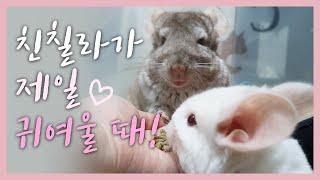 귀여운 친칠라!♥ (Cute Chinchilla)