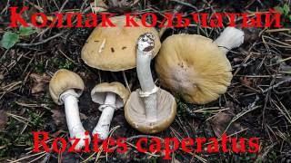 Колпак кольчатый - вкусный гриб.