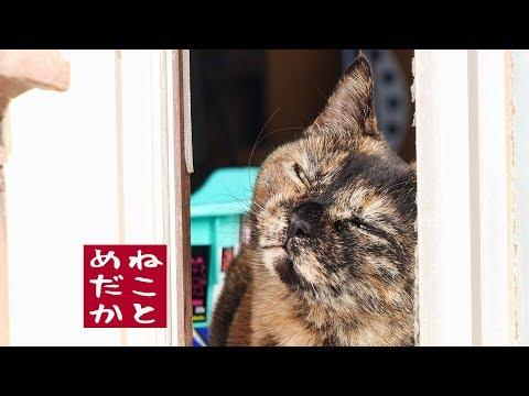 ネコとメダカのビオトープ 第六話 ずぶ濡れ猫【4K】